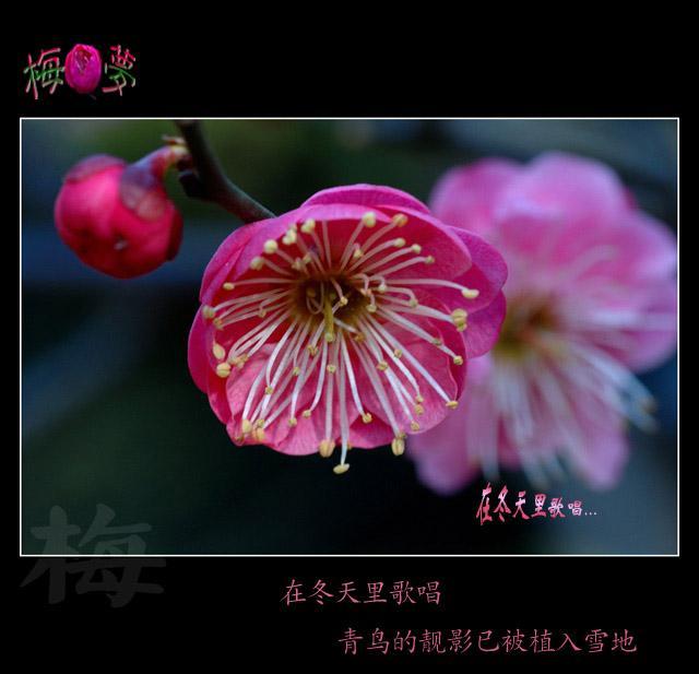梅花 - 睡莲 - 睡莲