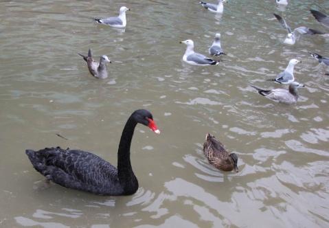 黑天鹅 - 木头人 - sampson827的博客