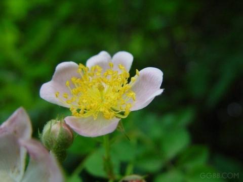 满架蔷薇一院香 - 刚子 - 王刚的工作室