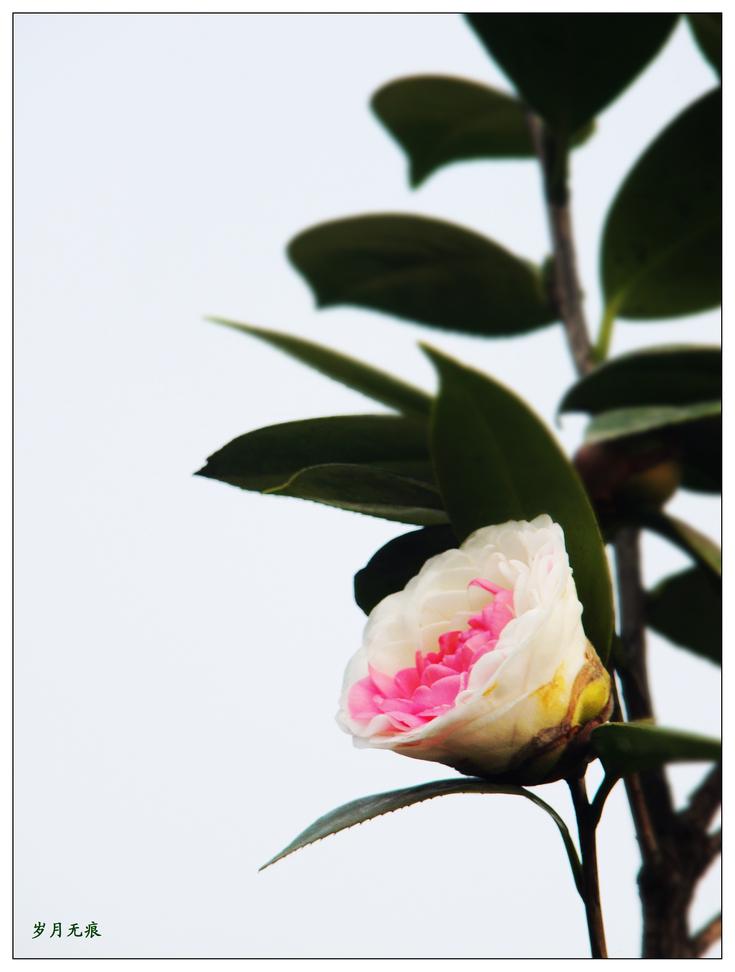 茶花赋(五)白里透红【原创摄影】 - 岁月无痕 - 岁月无痕