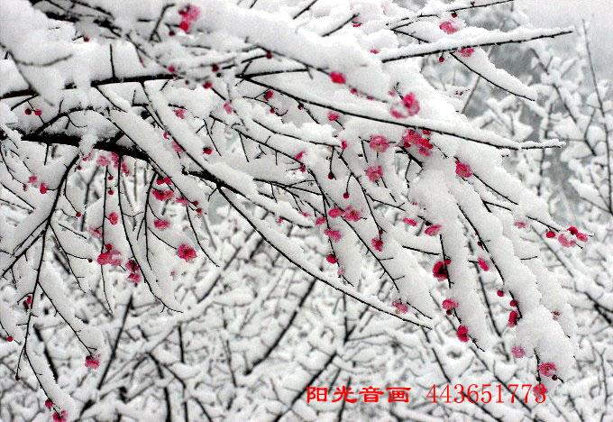 [原创]雪和梅 - xuebaimeihong - 红藕飘香