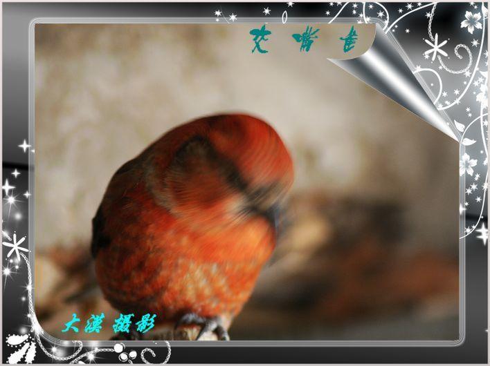 交嘴雀【大漠摄影】 - 大漠独行 - 大漠深处camel的博客