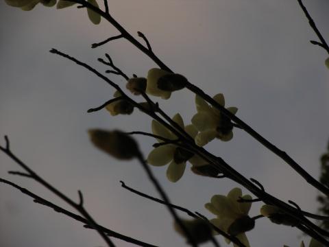玉兰 - 娄季初 - 娄季初诗词文集