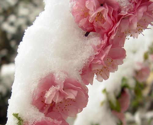 雪后的榆叶梅 - 秦腔 - 秦腔的博客
