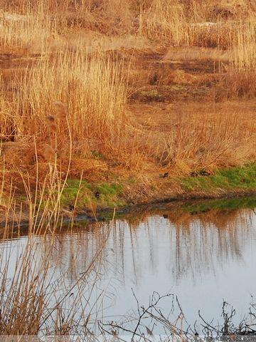 芦苇荡中的野鸭 - hf-twk - 红帽子(王)的博客