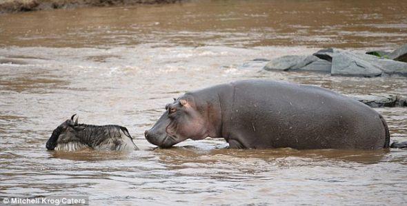 受困河中:一只巨大的河马越靠越近,看起来这只被困得牛羚就要成为它的一顿美餐了