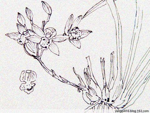 白描兰花--我的绘画 - angel.yzx - 惠风和畅
