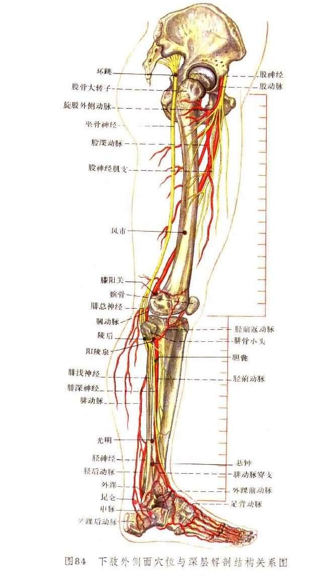 解剖针灸图(1) - 一介烟民 - 一介烟民的博客
