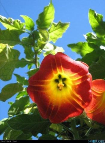 神秘的曼陀罗花 - 阳光脚步 - 阳光下的精彩