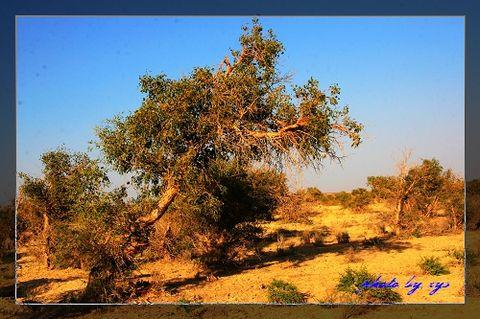 [原创]梦幻西域(09)克拉玛依胡杨林《》 - 自由诗 - 人文历史自然 诗词曲赋杂谈