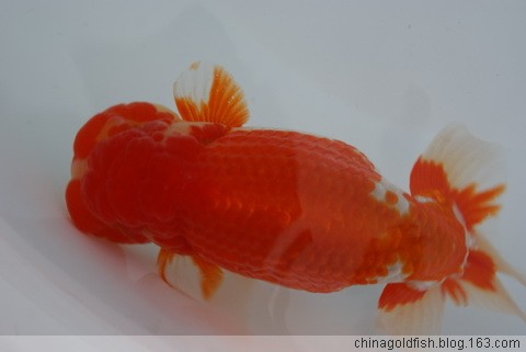 2008日本兰寿比赛部分获奖鱼 - 大苏打 - 中国金鱼