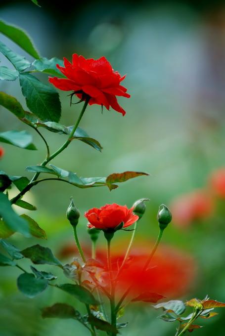 [FLASH美图欣赏]      会变换颜色的玫瑰花 - 人在旅途 - 人在旅途的博客