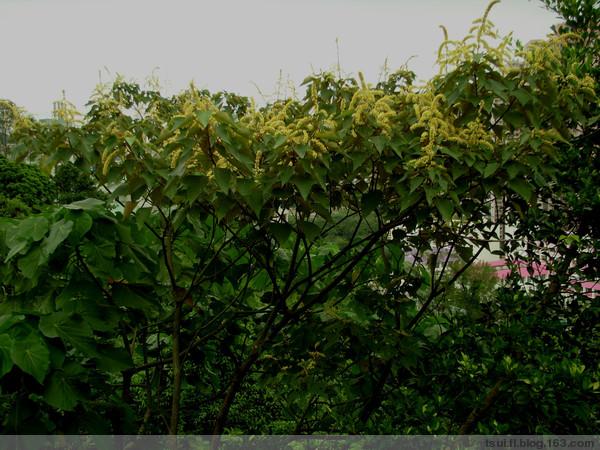 白楸~香港土产〔原摄〕 - 狮子山上雾茫茫 - 狮子山上雾茫茫攝影集 的博客