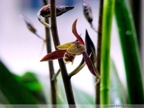 蝶恋花 - 紫冰兰 - 莲心苑。紫冰兰