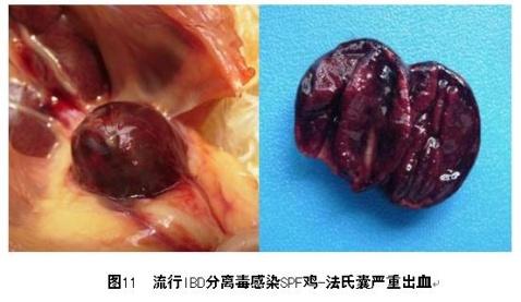 著博士 外周神经与法氏囊检查  - 著博士--动物疫病防控专家 - 中国(驰骋)动物保健品贸易行