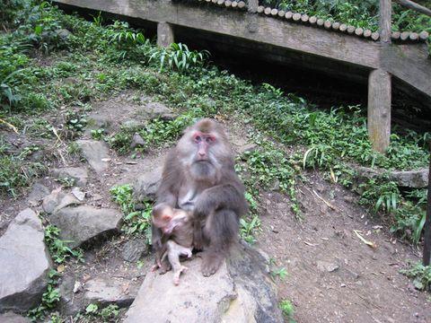 猴子果然丰股肥肚,看背影有点像笨熊