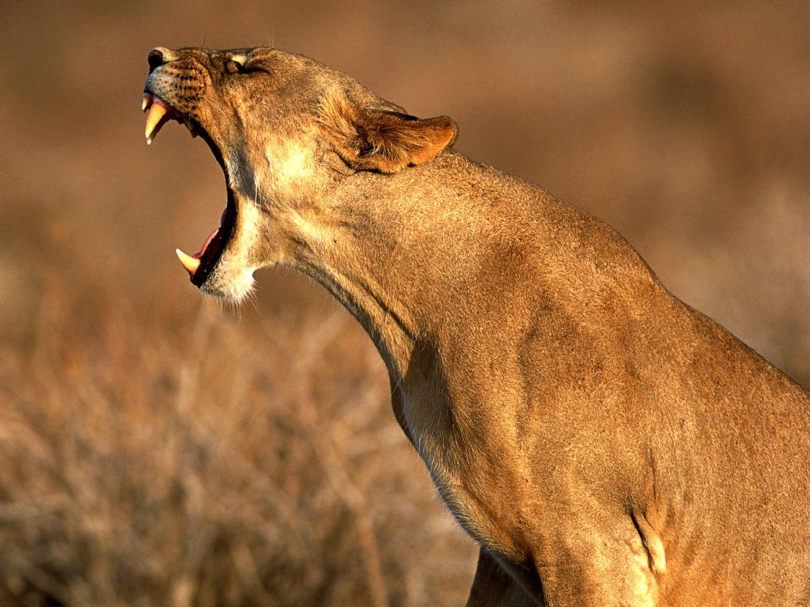 动物世界-狮.虎.豹 - 沉默是金 -    沉默是金博客