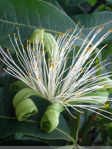 原创发财树的花 - 兰州园丁ljm44713 - 我的博客原创照片,欢迎指导