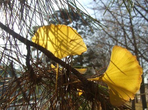 特写-飘落在松枝上的银杏叶-钓鱼台 银杏叶落缤纷