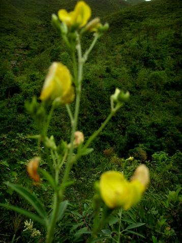 黄野百合~猪屎豆〔原摄〕 - 狮子山上雾茫茫 - 狮子山上雾茫茫攝影集 的博客