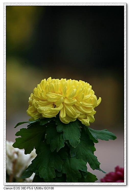 ( 原创摄影)菊   (3) - 曾经拥有 - 我的摄影花园