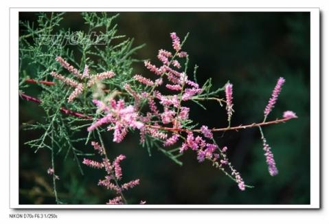 (原创贴图)开篇作——红柳魂 - 疏勒河的红柳 - 疏勒河的红柳