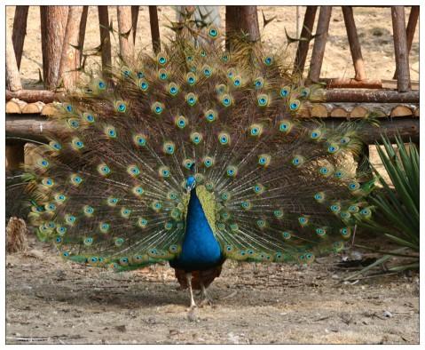 的声音.吸引雌孔雀的注意.孔雀开屏也是为了保护自己.它们的大