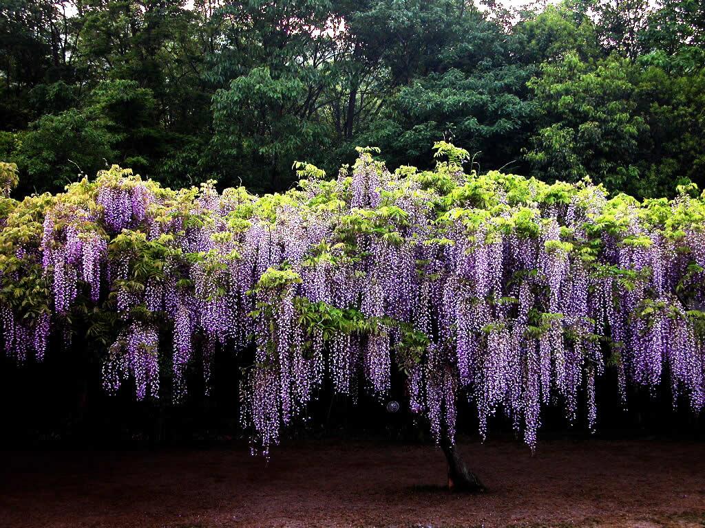 紫 藤 花 - 小韵 - ┿┿桜野家族のDreamHome┿┿