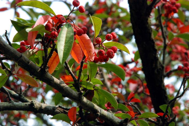 [原创]红果树 - 逍遥 - junchang0318的博客