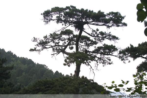 北京香山公园的松(1) - 刘炜大老虎 - liuwei77997的博客