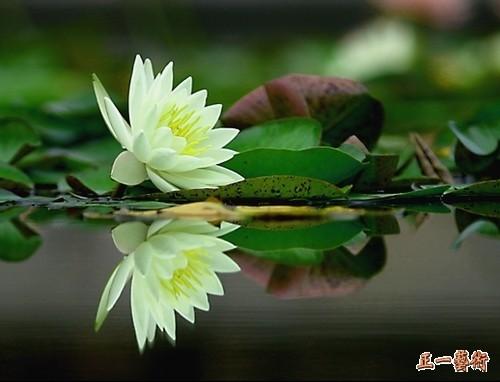 博友温柔狼赠诗---《睡莲》 - 枫叶 - 枫叶的博客