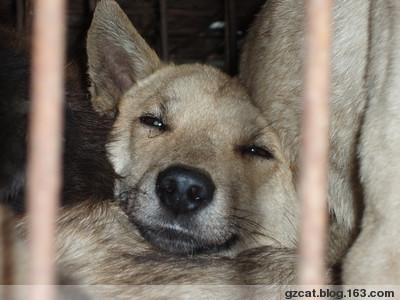 狗肉贸易的可悲现状 - 熙熙-拯救大行动 - 广州cat,拒绝食用猫狗肉.大家一起加油