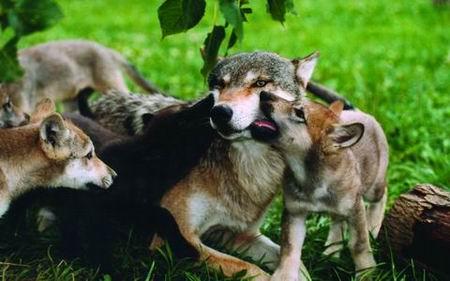 狼性教育——让孩子成为主宰命运地强者 - 快乐一生  - 北城孙屯小学的幸福人生