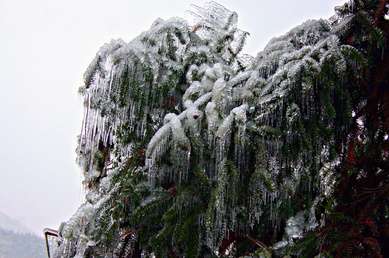 [原创]冰中叶——冰灾记忆之十 - 歪树 - 歪树