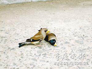 引用 (原创)爱情鸟 - 小草 -  高山流水