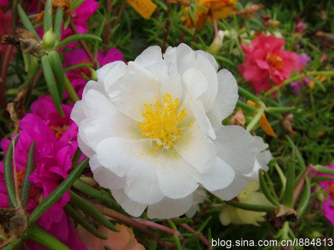 拍摄夏天的骄子-太阳花