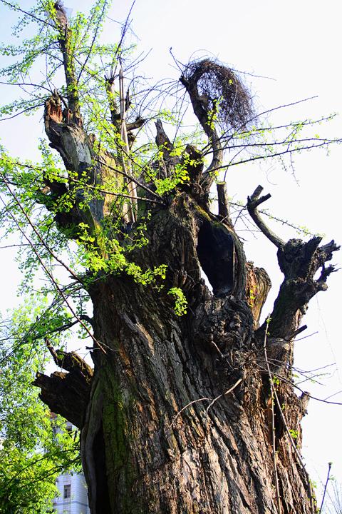 [原创]老树逢春 - 歪树 - 歪树