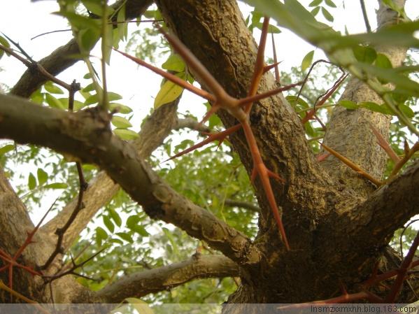 长刺的树 - 圆梦的日志