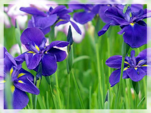 兰花与诗欣赏..葫芦丝美曲(汇) - 华山梅 - 华山梅欢迎您
