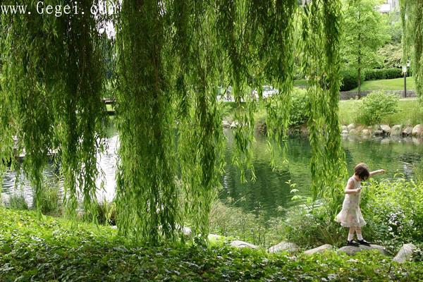 杨柳青青垂落于曲折的小溪....(08.11.17)  - 網際飛星 - 飛馳在天國花園夜空上的流星-網際飛星★