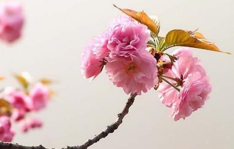 红杏出墙(原创) - jiansondu - jiansondu的个人主页