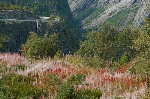 卑尔根到奥斯陆途中_____山地植物 - 西樱 - 走马观景
