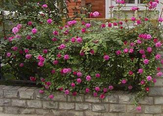 门前蔷薇花  2007年4月30日