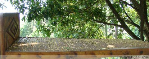 9月12日 桂花树下 - 西大人 - 西大人 - 希望有个好心情