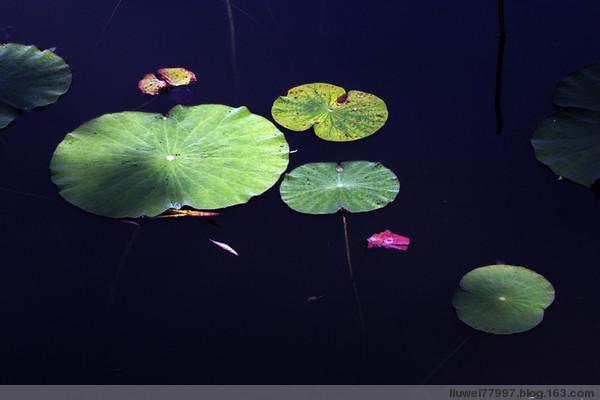 初夏的荷叶 - 刘炜大老虎 - liuwei77997的博客