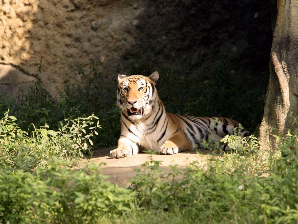 暗黑黎明小老虎