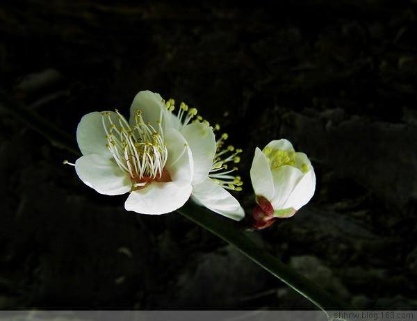 白梅报春(原创10幅) - 阿坤 - 阿坤的博客---纪实摄影家园