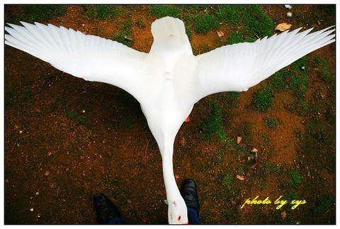 [原创]动物王国(01)天鹅《菩萨蛮》 - 自由诗 - 人文历史自然 诗词曲赋杂谈