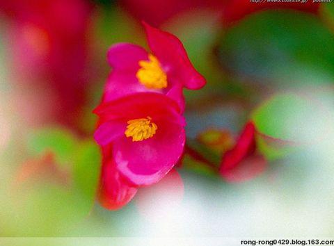 春天的花 - 沙漠玫瑰 - .