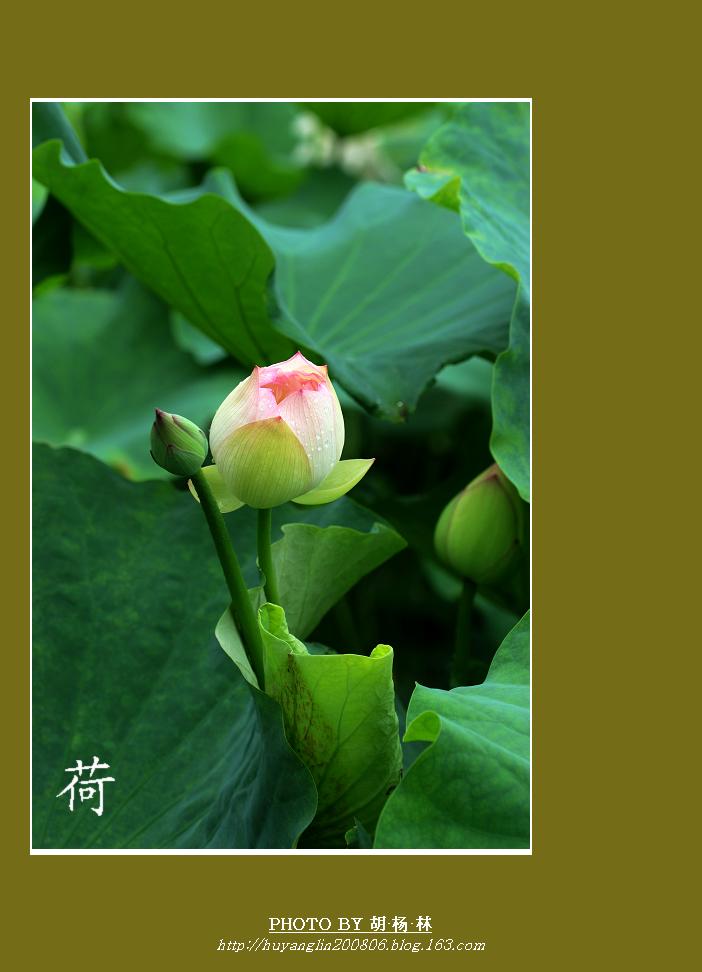 圆荷泻露【原创摄影】  - 胡杨林 - 胡杨林de博客